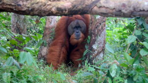 pappa-orangutang-sumatra
