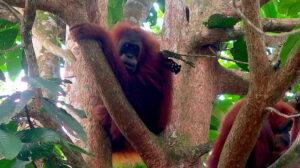 orangutang-familj-sumatra