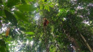 orangutang-bukit-lawang-sumatra