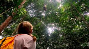 orangutanger-högt-upp-sumatra