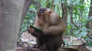 svinmakak-sumatra